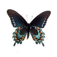 Pipevine Swallowtail Butterfly Bronze Key Necklace